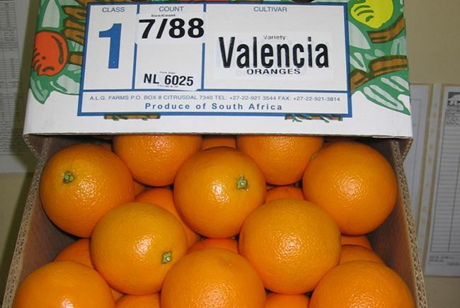 Valencia-Oranges-in-South-Africa